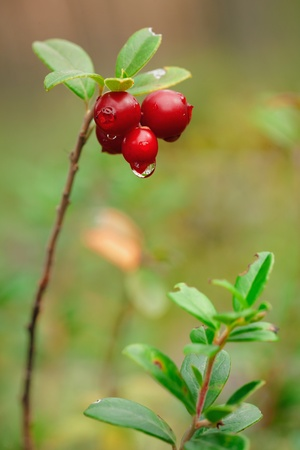 mountain cranberry: Cowberry with drops. A cowberry on a green vegetative background in wood.