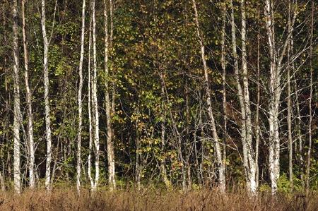 Birch forest background. Autumn. September photo