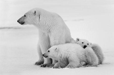 babys: White she-bear with cubs. A Polar she-bear with two small bear cubs. Around snow. Black and white photo.