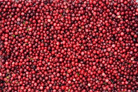 Wild cranberries. Pattern of freshly picked in the forest wild cranberries