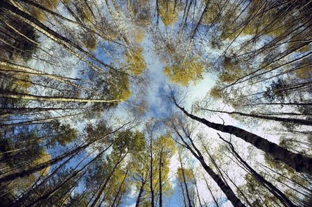 wide angle lens: Sky in birch forest. Looking up in birch forest with wide angle lens