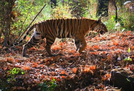 ferocious: Royal Bengal tiger. Bandhavgarh National Park Reserve.
