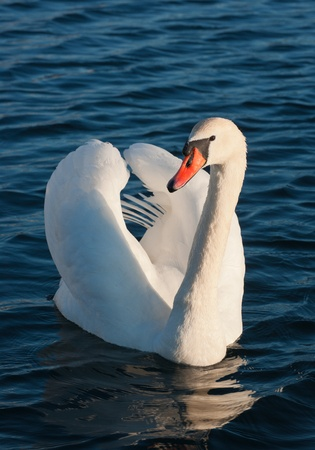 Wild swan portrait. Cygnus olor An adult in threat posture on a tranquil water photo