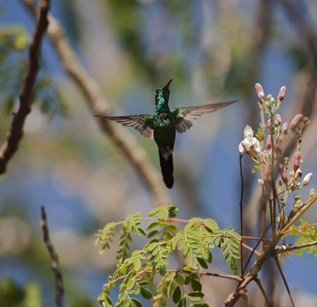 The Cuban Emerald in flight. Cuban Emerald Hummingbird (Chlorostilbon ricordii), Cienaga de Zapata, Cuba photo