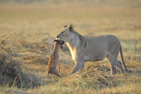 A lioness with new-born antelope prey. The lioness goes on savanna and bears the killed kid of an antelope. A yellow grass. The morning sun. Reklamní fotografie
