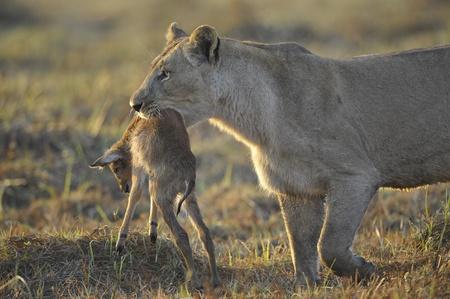 Eine Löwin mit neugeborenen Antilopen jagen. Die Löwin geht auf Savanne und trägt den getöteten Kind von einer Antilope. Ein gelbes Gras. Die Morgensonne.