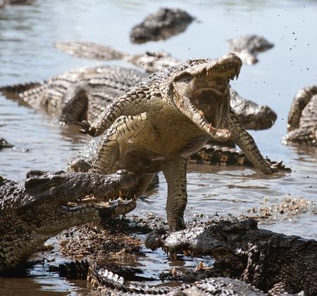 cocodrilo: Ataque de cocodrilo. Cocodrilo cubano (Crocodylus rhombifer) Foto de archivo