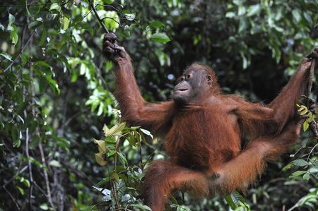 Juvenile Orangutan climbing on yhe tree in rain forest. Pongo pygmaeus photo