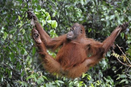 Juvenile Orangutan climbing on yhe tree in rain forest. Pongo pygmaeus photo