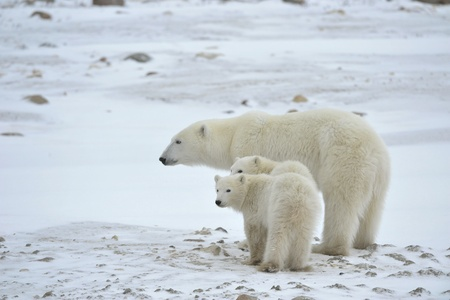 Polar she-bear with two cubs on the snow.