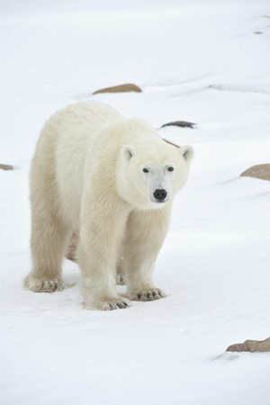 oso blanco: Oso polar en un h�bitat natural. Nieve. Una helada. Invierno.