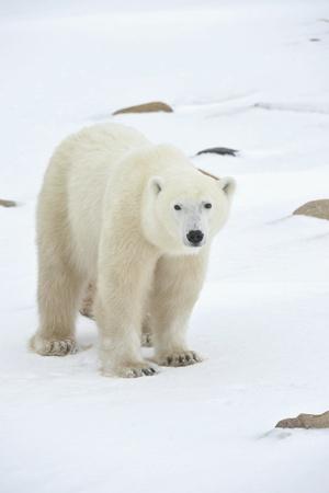 Ours polaire dans un habitat naturel. Neige. Un gel. Hiver.