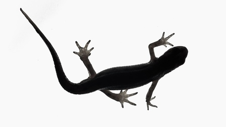 palmate: Palmate newt. Dark silhouette of a newt  isolated on a white light background. Triturus helveticus. Lissotriton helveticus. Black and white.