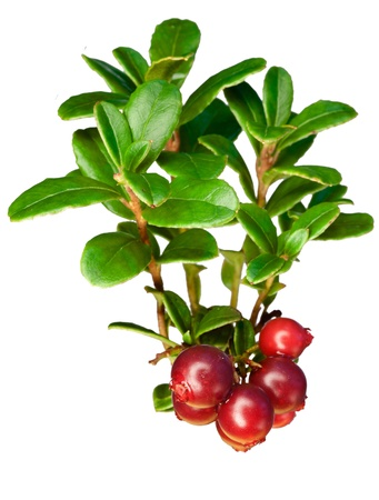 Late cowberry. Branch of red cowberries isolated on white background photo