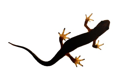 palmate: Palmate newt. Dark silhouette of a newt  isolated on a white light background. Triturus helveticus. Lissotriton helveticus