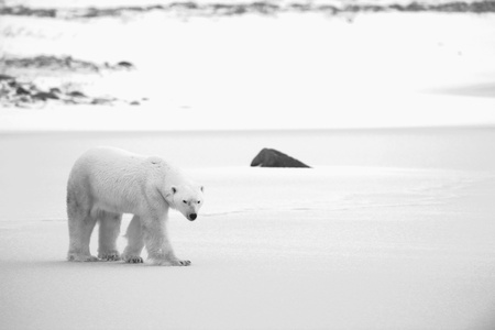 endangered species: Polar Bear on the snow. Black and white photo.