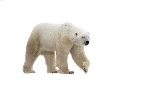 Polar Bear isol� sur le fond blanc.