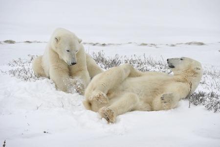 Los osos polares reproducirFOOL en la nieve. Foto de archivo - 10861164