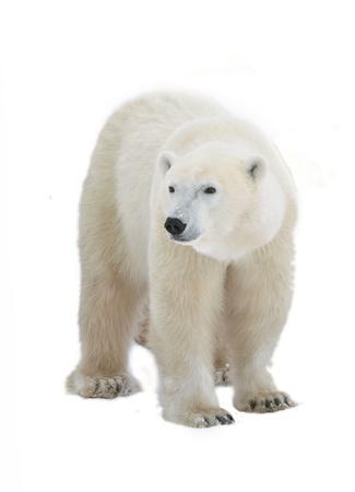 oso: Oso polar aisladas sobre fondo blanco. Foto de archivo