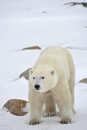 bear paw: Polar Bear Portrait with stones on the snow.