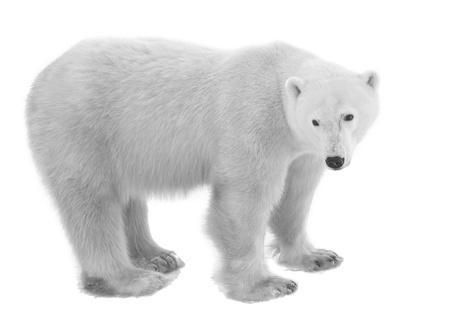 Polar Bear isolated on the white background. Stock Photo