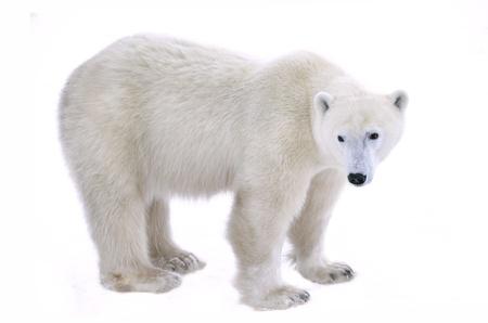 oso: Oso polar aislado en el fondo blanco. Foto de archivo