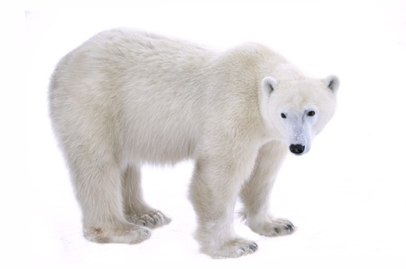 Ours polaires isol�es sur un fond blanc.