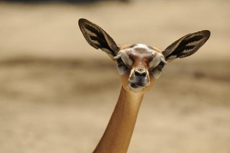 close up eyes: gerenuk (litocranius walleri)  female portrait