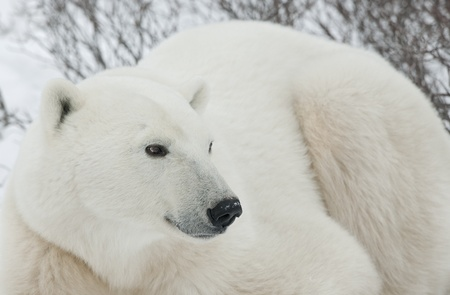 portrait of a polar bear. close up a portrait of a polar bear.  photo