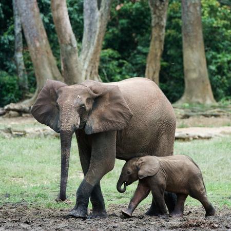 dangerous love: Il ragazzo, il vitello di elefante con la mamma. La foresta di elefante africano (Loxodonta cyclotis) � un elefante di abitazione di foresta del bacino del Congo.