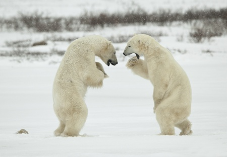 Polar bears fighting on snow have got up on hinder legs.  Stock Photo
