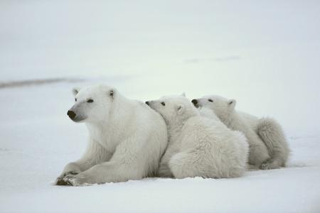 mam: Polar she-bear with cubs. The polar she-bear  with two kids on snow-covered coast. Stock Photo