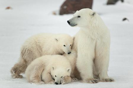 ourson: Polar ourse avec oursons. L'ourse polaire avec deux enfants sur les c�tes couvertes de neige. Banque d'images