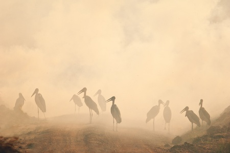 Marabou stork in the smog. Fire in savanna photo