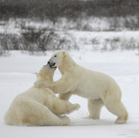 Polar bears fighting on snow have got up on hinder legs.  photo