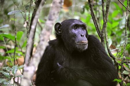 simia troglodytes: Wild Chimpanzee ( Pan troglodytes )  portrait in the jungle. Uganda