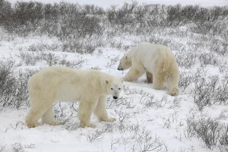 Two polar bears walk on the snow. photo