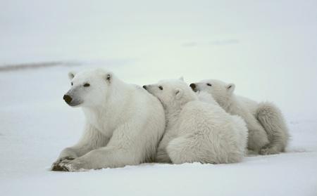 カブ: 彼女は-シロクマ カブスと。雪に覆われた海岸に 2 人の子供の極彼女はクマです。