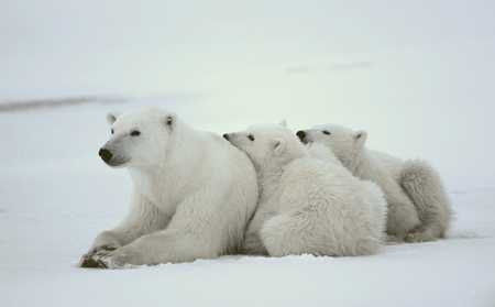 Polar she-bear with cubs. The polar she-bear  with two kids on snow-covered coast. Stock Photo