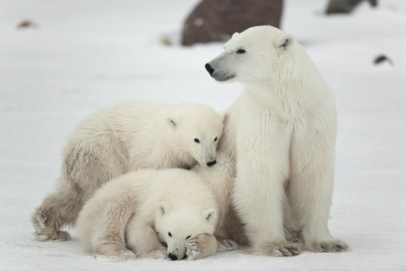 arctic: Polar she-bear with cubs. The polar she-bear  with two kids on snow-covered coast. Stock Photo