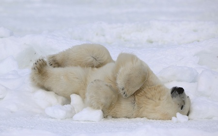Rest of a polar bear. A polar bear having a rest on ice at water. Stok Fotoğraf