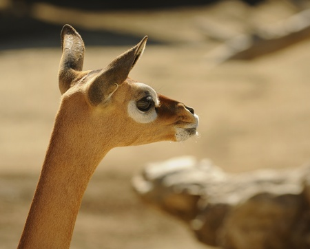Gerenuk (Litocranius walleri)  female portrait Stock Photo - 11013231