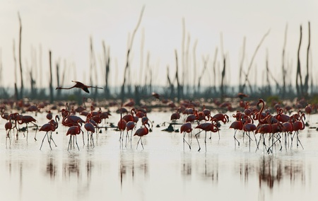 maximo: Colony of Great Flamingo .Rio Maximo, Camaguey, Cuba.