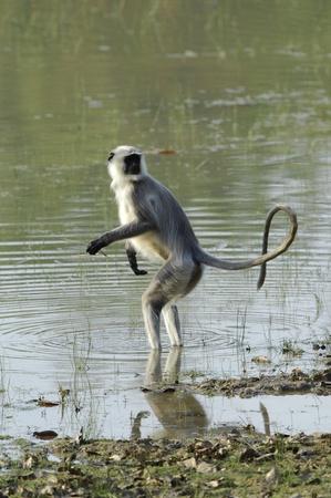 gray langur: Hanuman Langur Semnopithecus entellus in water Stock Photo