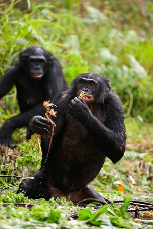 bonobo: The chimpanzee bonobo standing in water eats roots of plants.