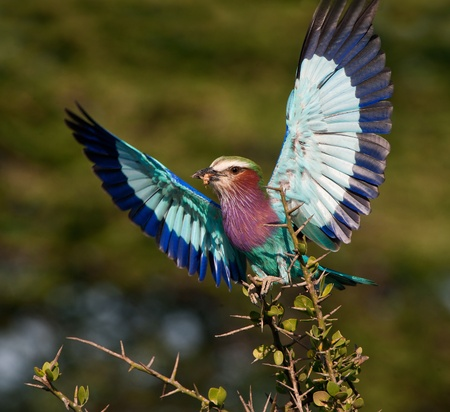 Lilac-breasted Roller (Coracias caudata) with catch. photo