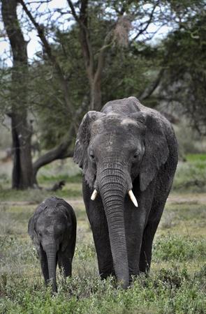 elephant nose: African savanna Elephant and baby.