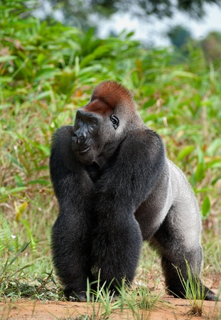 Silverback - adult male of a gorilla. Western Lowland Gorilla. photo