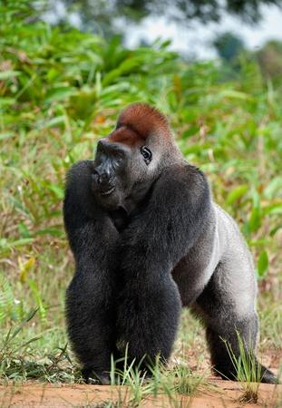 silverback: Silverback - adult male of a gorilla. Western Lowland Gorilla. Stock Photo