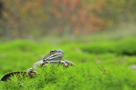 The Common Frog, Rana temporaria also known as the European Common Frog. photo